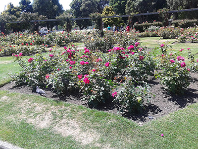 Rose Jin's favourite part of the Wellington botanical garden is the rose garden